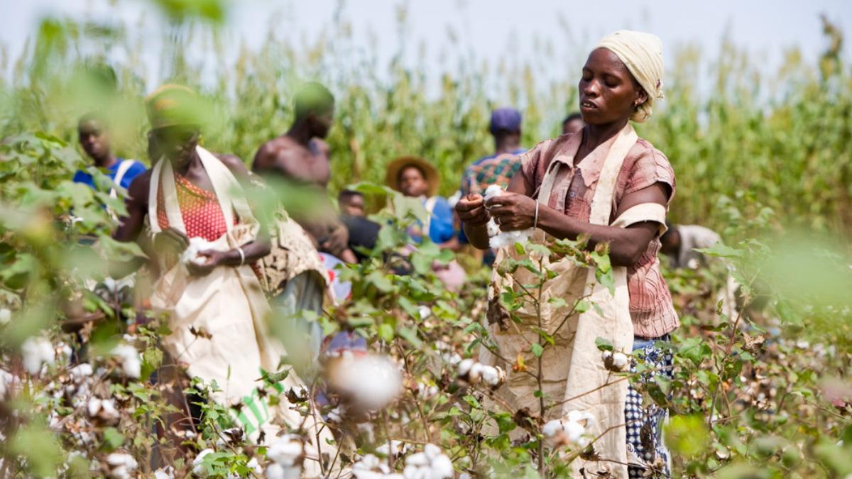 Кения заявила о начале коммерческого выращивания генетически модифицированного хлопка