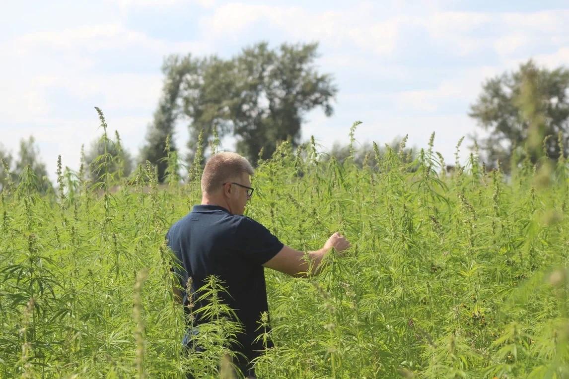 Во Владимирской области вырастили техническую коноплю