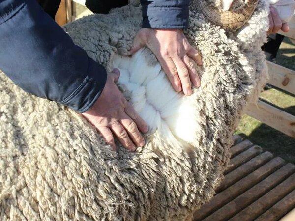 В 2020 году ставропольскую шерсть экспортировали в семь стран мира