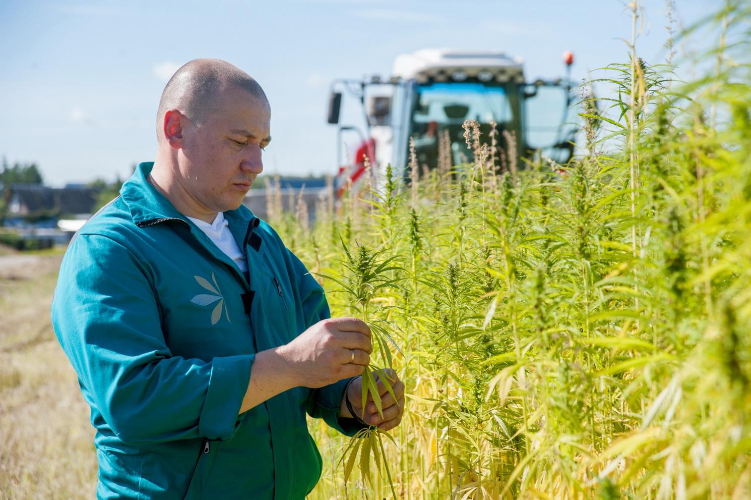 В Ивановской области планируют активно развивать направление технической конопли