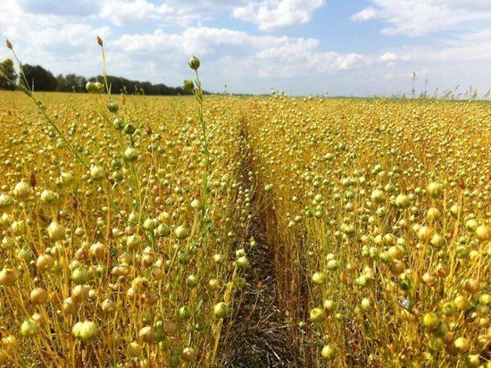 Депутаты Ярославля хотят возродить льноводство